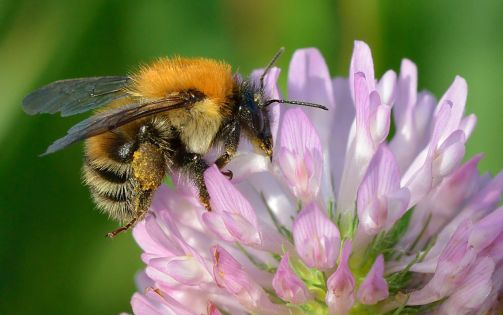 A hungry bumblebee enjoying a visit to a flower of Trifolium pratense.