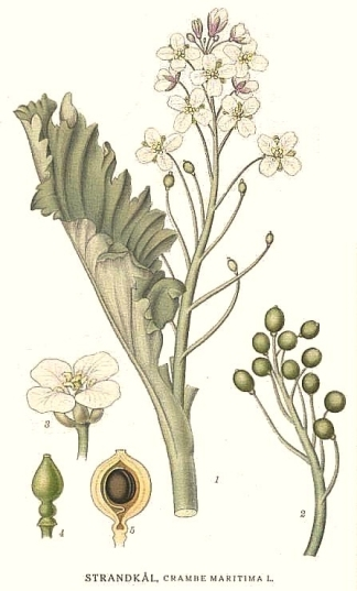 Botanical art of Crambe maritima