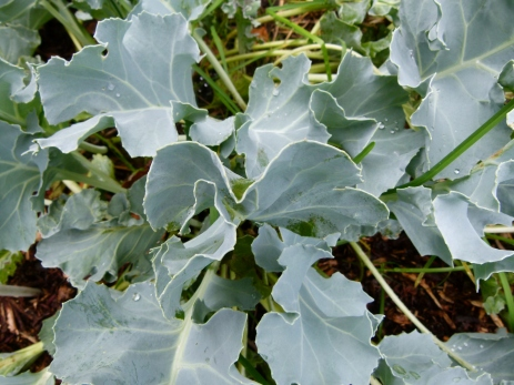 Crambe maritima leaves up close