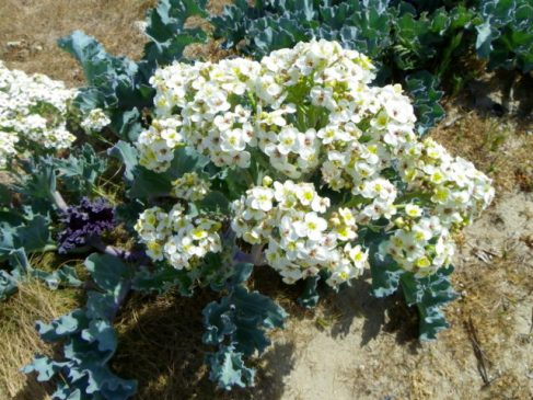 Crambe maritima in full bloom