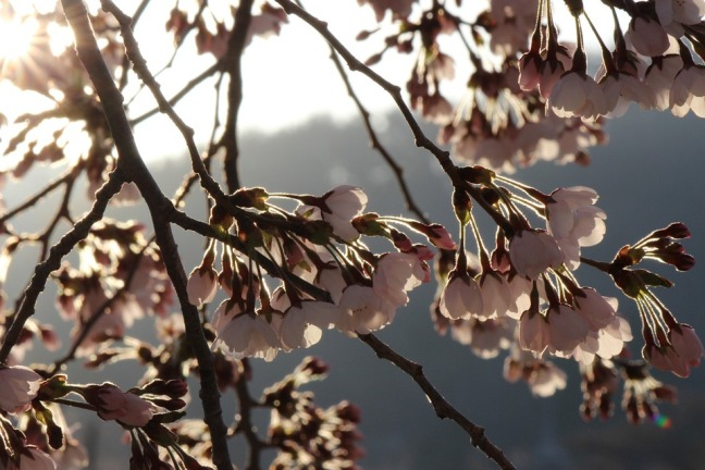 11878-Hanamiyama-Park-Cherry-Blossoms-Fukushima-Tree-610707.jpg