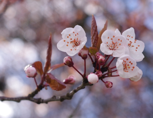 Plum_blossoms_in_Vancouver_3_crop